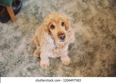 A cute cockerpoo dog