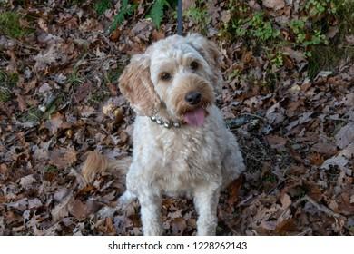 Cute cockerpoo dog sitting in leaves