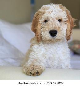 Cute Cockerpoo puppy