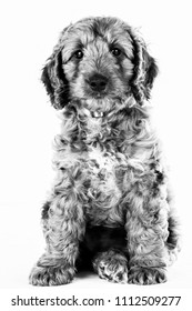 cute cockerpoo puppy portrait in black and white
