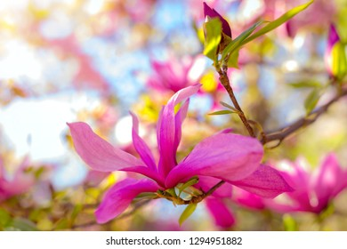 cute color of magnolia in spring. macro. spring background. space for text