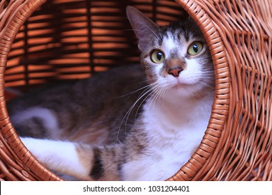 cute colorful cat lying in a basket. Felis silvestris
