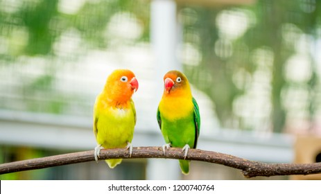 cute and colorful lovebird agapornis fischery perching on the branch
