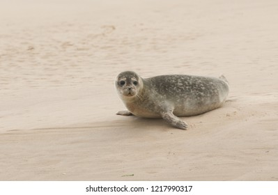 A cute Common Seal (Phoca vitulina) resting on a sandbank in Scotland when the tide was out.
