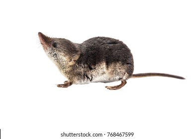 Cute Common shrew (Sorex araneus). Shrews are among the most primitive animals on planet earth. All modern mammals descend from these early insectivores