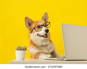 Cute corgi dog looking at laptop in glasses on yellow background