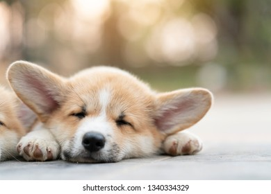cute corgi dog puppies lying, relaxing and sleeping in summer sunny day