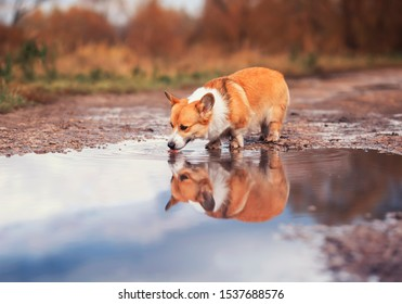 cute Corgi dog puppy stands in the a puddle on the road and drinks water reflecting in it in autumn Sunny day