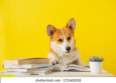 Cute corgi dog reading the book on yellow background