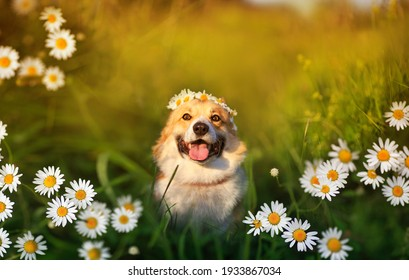 cute corgi dog sitting on the summer sunny meadow surrounded by daisies flowers