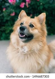 Cute corgi Pomeranian mix dog