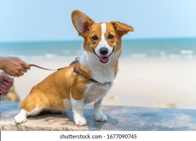 Cute Corgi Resting dog on on the beach. Nice Welsh corgi pembroke relaxing on the beach. Pets outdoors and lifestyle. Beach and summer concept.