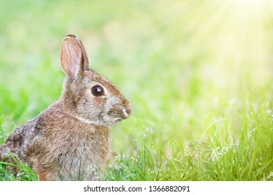 Cute Cottontail bunny rabbit sitting in grass in the spring garden. Natural green background with copy space.