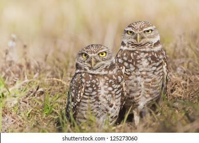 cute-couple-burrowing-owl-latin-260nw-12