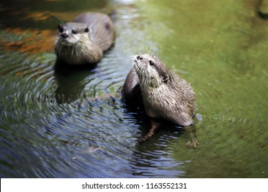 Cute couple of eurasian otters (Lutra lutra) playing in water. Photography of nature and wildlife.