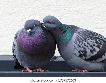 Cute couple of loving and colorful pigeons mating. Common city doves (Columba livia) standing on the roof of a building after building their nest. Animals in the city.