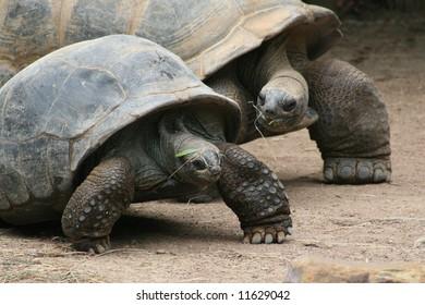 Cute Couple Of Tortoises