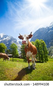 Cute cow standing in the pasture in Switzerland with mountains and snow caps on background
