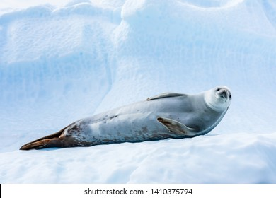 Cute crabeater seal resting on iceberg in Antarctica and staring at camera, Antarctic wildlife and frozen landscape, blue ice