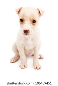 A cute cream color eight week old puppy sitting against a white backdrop