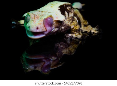 Cute crested gecko pet licking its eyeball clean while laying on a mirror that shows its reflection beneath it and lit by colorful green and purple studio lights.