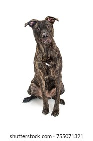 Cute crossbred terrier dog sitting on a white studio background
