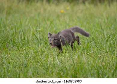 Cute cub of an arctic fox (Alopex lagopus beringensis) on a background of bright green grass in a cool polar summer on the Bering island, the Commander Islands. Selective focus on the eyes of the fox.