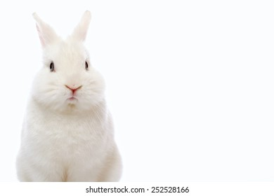 Cute and cuddly. Closeup of beautiful white rabbit looking at camera  isolated on white background with copy space