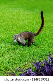 Cute and cuddly Coati or coatimundi walking in the grass in Mexico in an all inclusive beach resort foraging for food