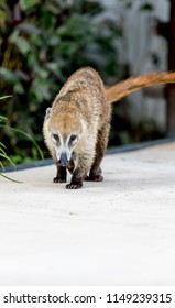 Cute and cuddly Coati or coatimundi walking along a path in Mexico in an all inclusive beach resort foraging for food