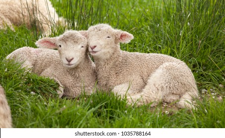 Cute cuddly fuzzy baby animals Spring lambs sheep siblings snuggling up together in green grass. They look like they are smiling. Happiness, love, togetherness, family concept.