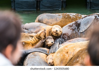 Cute cuddly main attraction of the Piers along San Francisco , California Port area a large group of sea lions enjoy the sunshine