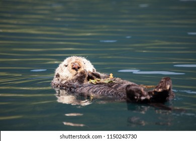 Cute and cuddly sea otter floating on its back