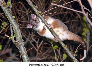 Cute and curious Australian Ringtail Possum peering down from the tree tops in a backyard in Sydney, Australia