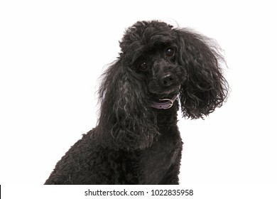 cute and curious black poodle on white background