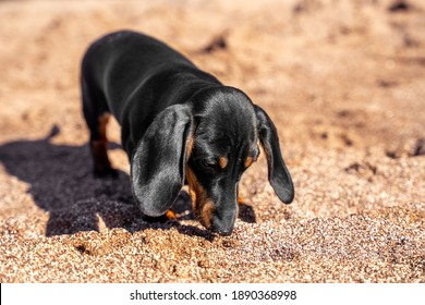 Cute curious dachshund puppy explores beach and sniffs ground in search of food or something interesting, front view. Nose of dog is smeared with sand