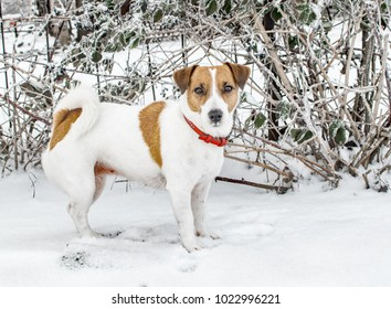 A cute curious dog Jack russel terrier standing on snow and looking into camera. Cute doggy portrait in winter at cold frosty weather.