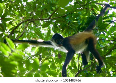 Cute and Curious Furry Spider Monkey Hanging from a Tree in the Jungle Rainforest in Quintana Roo in Mexico's Yucatan Peninsula near Puerto Moreles in the Alfredo Barrera Marin Botanical Gardens