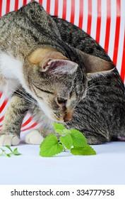 cute curious kitten and  catnip fresh leaves