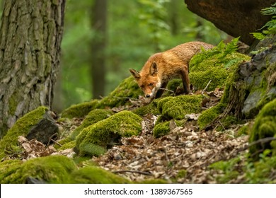 cute curious little fox in spring forest with fresh green leaves and moss