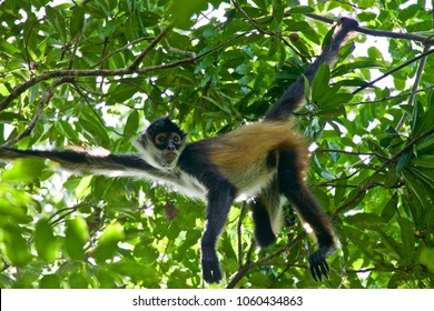 Cute and Curious Spider Monkey Hanging from a Tree in the Jungle Rainforest in Quintana Roo in Mexico's Yucatan Peninsula near Puerto Moreles in the Botanical Gardens Alfredo Barrera Marin