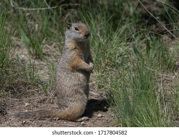 Cute and curious Uinta ground squirrel sitting up in Yellowstone National Park, Wyoming, USA