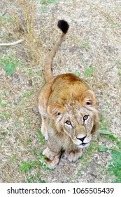 Cute curious young lion, sitting looking at the camera