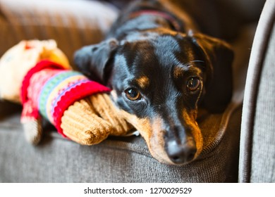A cute dachshund being playful.
