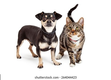 A cute Dachshund and Chihuahua mixed breed dog and a striped tabby cat standing together and looking up