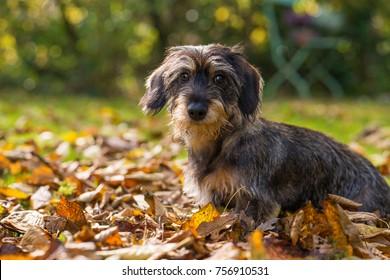 Cute dachshund puppy in autumn leaves