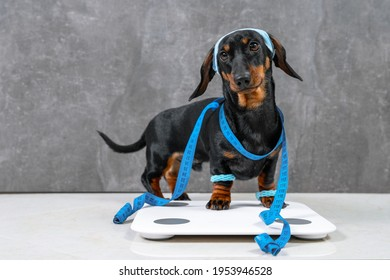 Cute dachshund puppy Dog in sportswear with wristbands on paws and headband protecting from sweat on head is wrapped in centimeter and stands on scales to make measurements, leads active lifestyle.