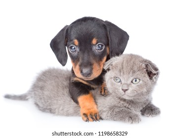 Cute dachshund puppy embracing tiny gray kitten. Isolated on white background