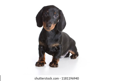 Cute dachshund puppy (isolated on white)
