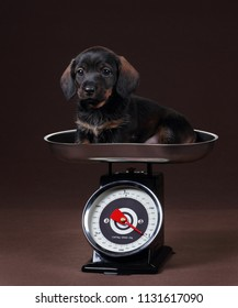 Cute dachshund puppy on the scales